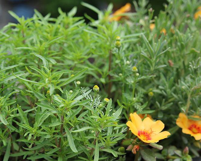 A close up of Summer Savory