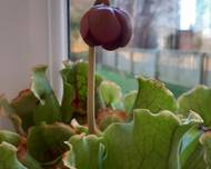 A photo of Pitcher Plant