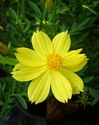 A photo of Yellow Cosmos