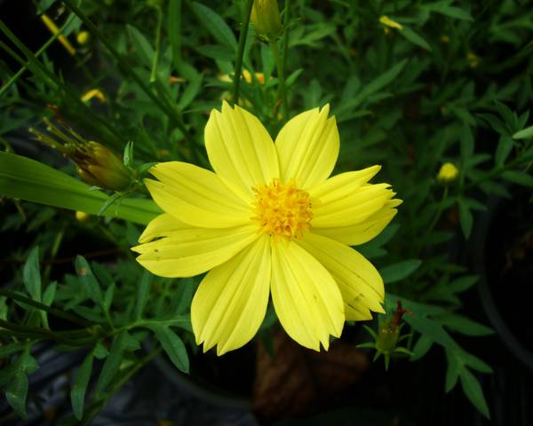 A picture of a Yellow Cosmos