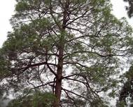 Pinus roxburghii tree
