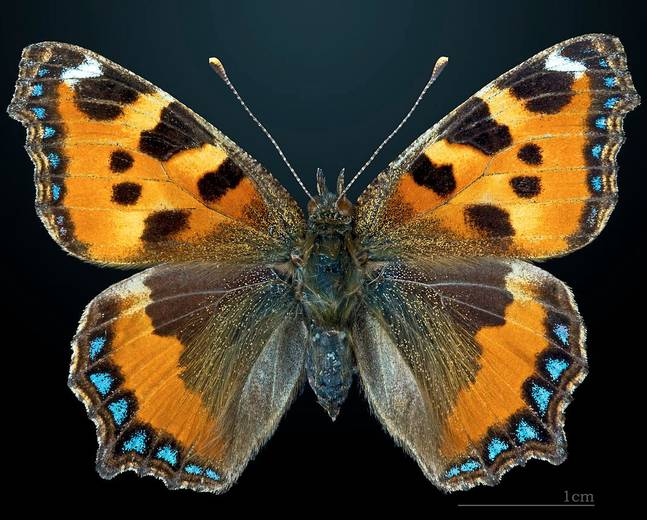 A close up shot of a Aglais urticae small tortoiseshell butterfly to scale against a black background