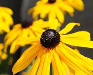 A close up of some yellow Rudbeckia hirta flowers