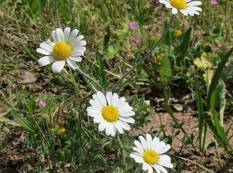 A close up of some white Anthemis arvensis flowers