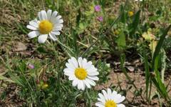 A photo of Scentless Chamomile