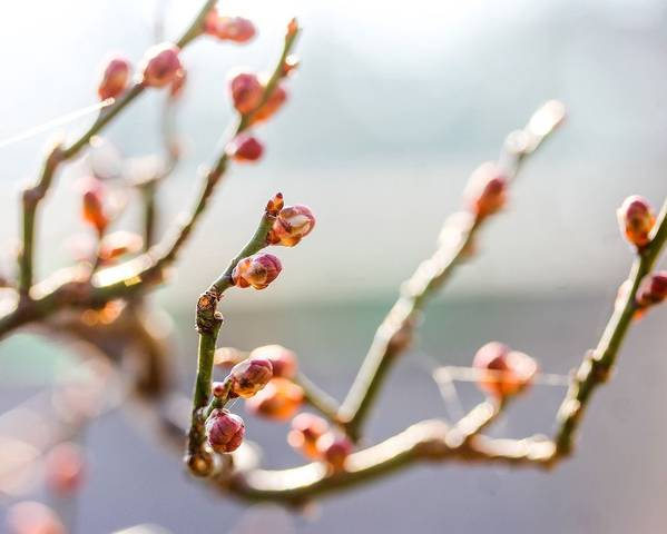 A picture of a Japanese Apricot