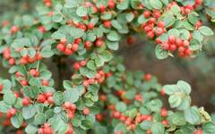A photo of Tibetan Cotoneaster