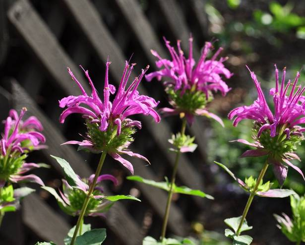 Peter's Purple Monarda