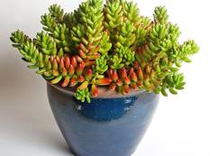 A pot of Sedum rubrotinctum with jellybean like leaves