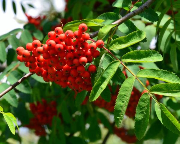 A picture of a Rowan
