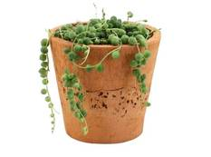 A close up of a pot of green Curio rowleyanus String of Pearls