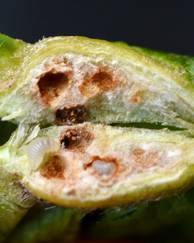 A photo of Chestnut Gall Wasp
