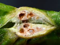 A close up of wasp larvae within a gall produced by Dryocosmus kuriphilus oak gall wasps