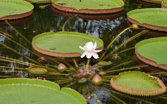 A photo of Amazon Water lily