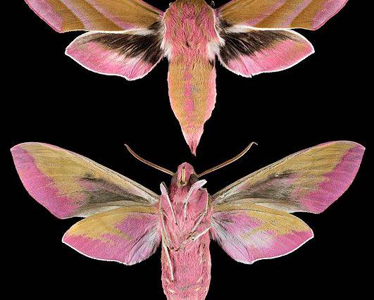 A close up image of the front and back view of an elephant hawkmoth insect to scale Deilephila elpenor against a black background