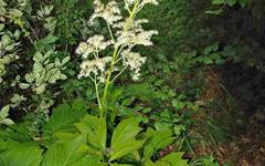 A photo of Chestnut-Leaved Rodgersia