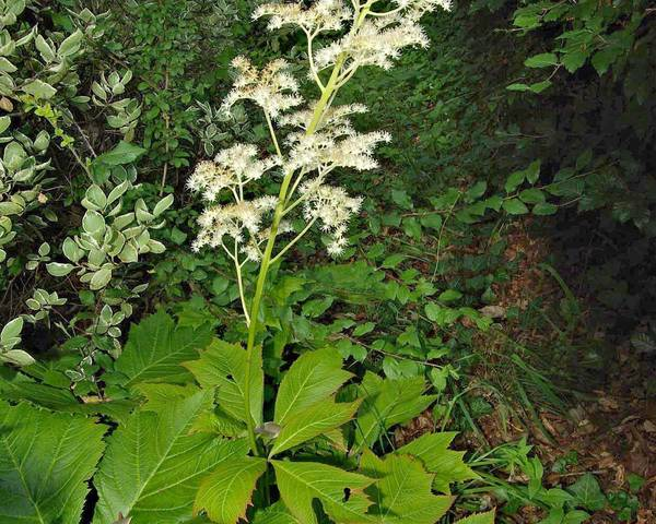 A picture of a Chestnut-Leaved Rodgersia