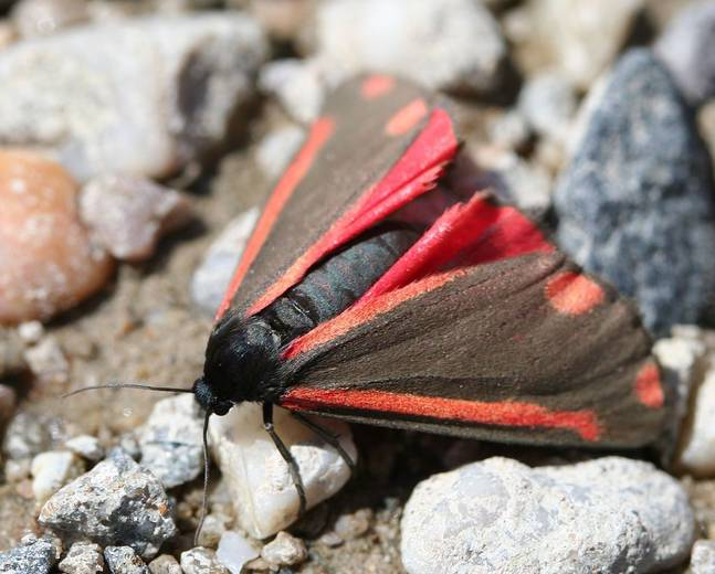 A red black cinnabar moth Tyria jacobaeae insect on some rocks