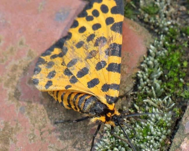 A close up image of a Zerenopsis leopardina leopard magpie moth on a pavement
