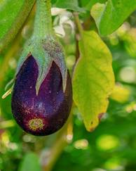 A photo of Eggplant 'F1 Baby Belle'