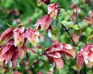 A photo of Shrimp Plant