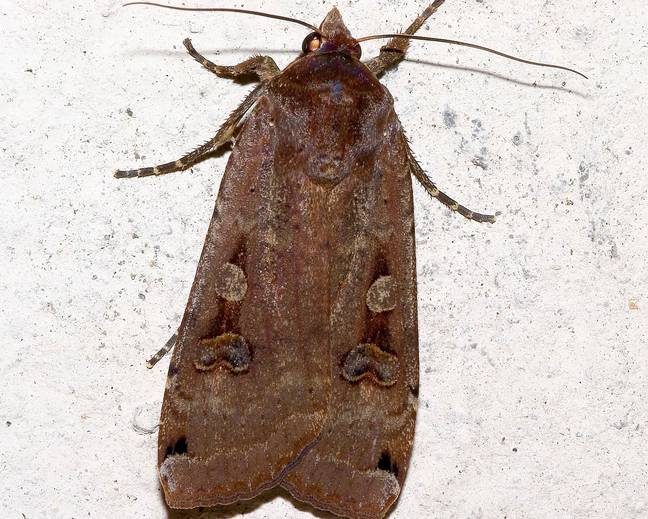 A close up image of a European Yellow Underwing Moth Noctua pronuba resting on a white wall