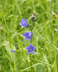A photo of Common Harebell