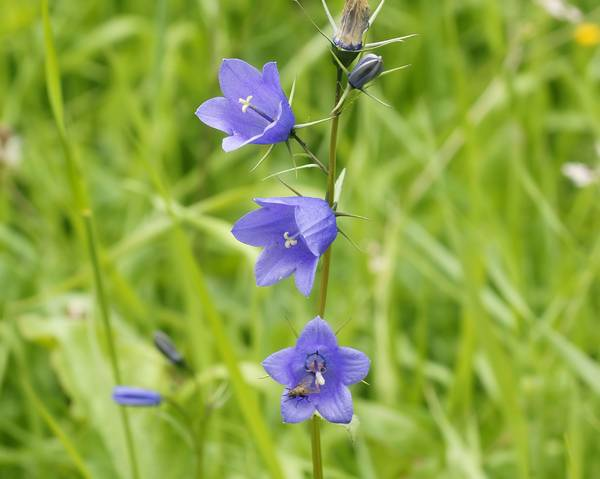 A picture of a Common Harebell