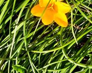A photo of Golden Crocus