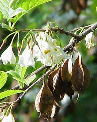 A photo of Silverbell tree