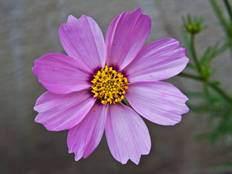 A close up of a pink cosmos flower.