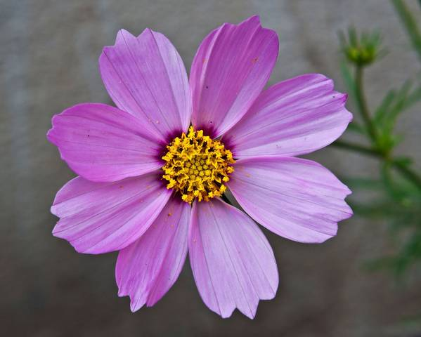 A picture of a Cosmos