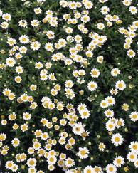 A photo of Chrysanthemum 'Snowland'