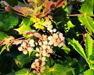 A photo of Mahonia bealei