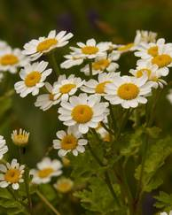 A photo of Feverfew