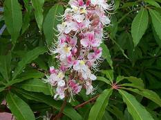 A tree with pink white Aesculus indica flowers on a plant