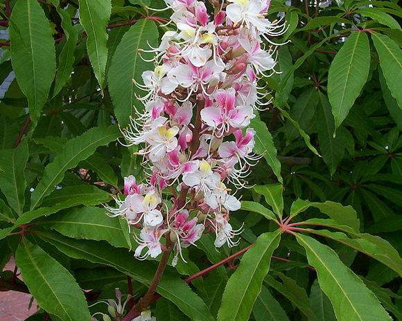 A picture of a Indian Horse Chestnut