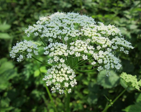 A picture of a Ground Elder