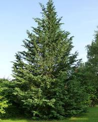 A photo of Leyland Cypress