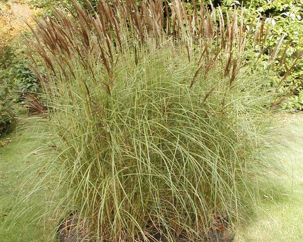 A picture of a Pampas Grass
