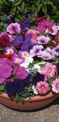 A photo of Petunia 'Frenzy'