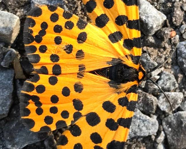 A close up image of a Zerenopsis leopardina leopard magpie moth on some grey rocks