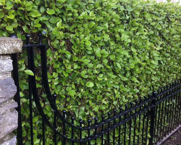 A Griselinia hedge and metal garden fence