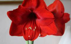 Pot up amaryllis, for spectacular indoor colour!