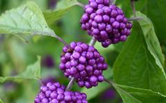 A photo of Beauty Berry