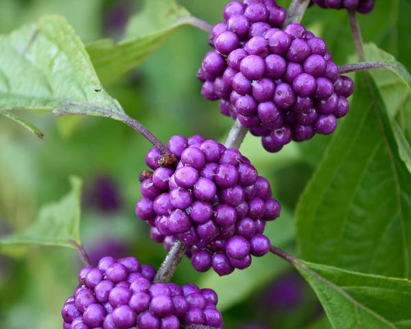 A picture of a Beauty Berry