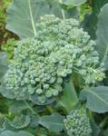 A photo of Broccoli