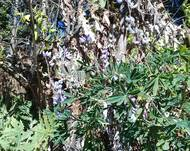 A photo of Lupinus elegans