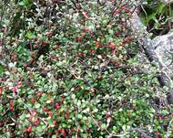 Some Corokia with green leaves and red berries
