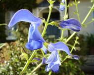A photo of Gentian Sage